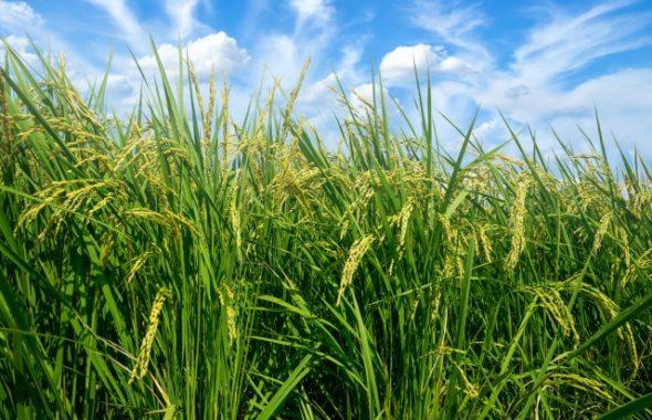稲作への関心が高まっているようです